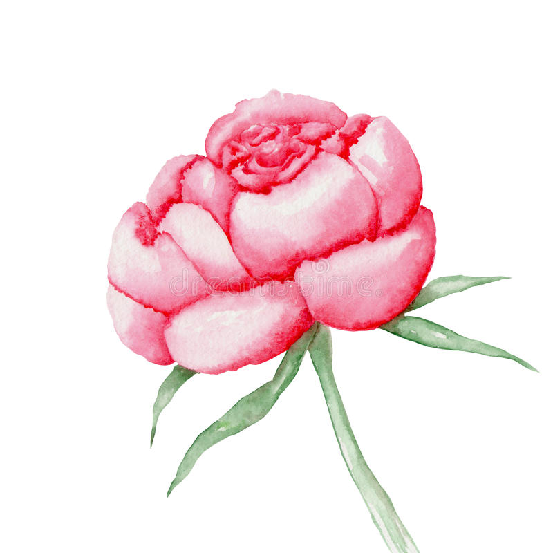 Red peony flower painted in watercolor royalty free illustration