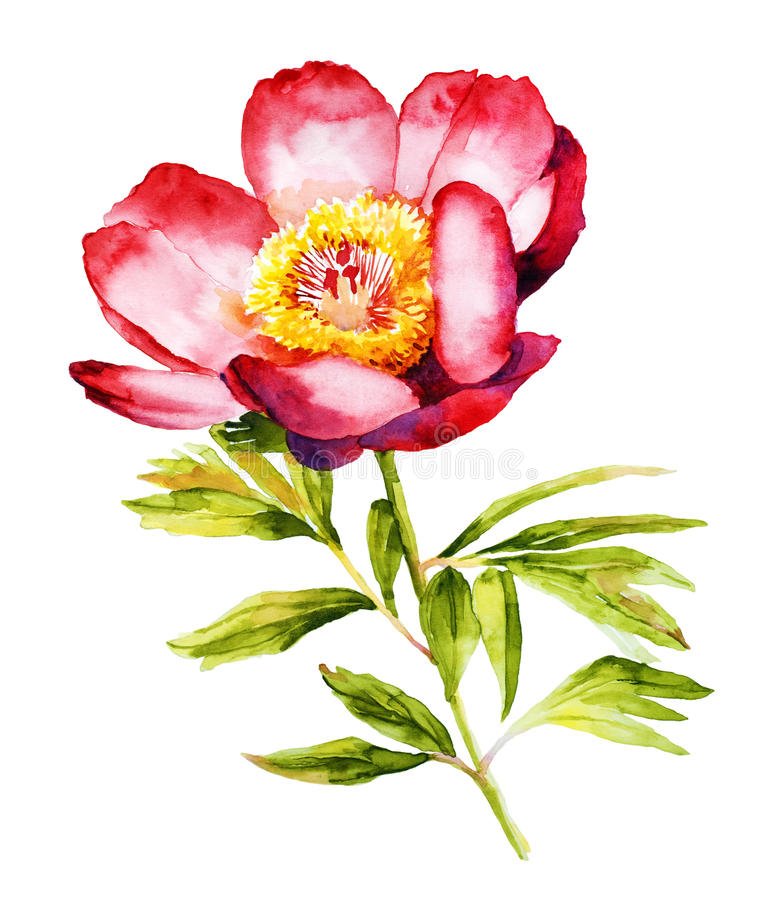 Red Peony flower watercolor stock illustration