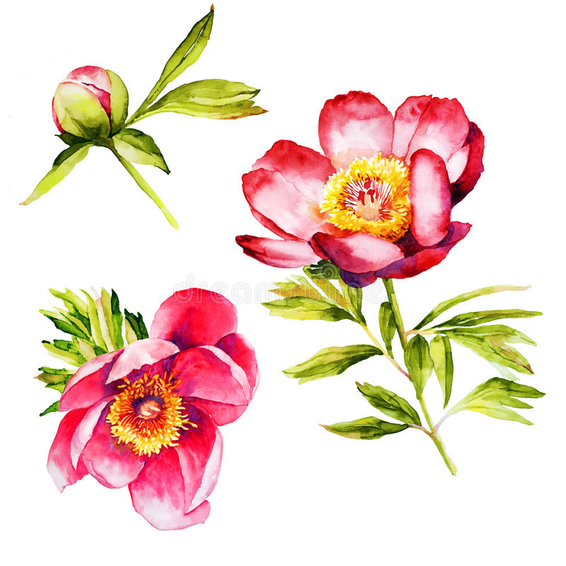 Red Peony flower watercolor royalty free illustration