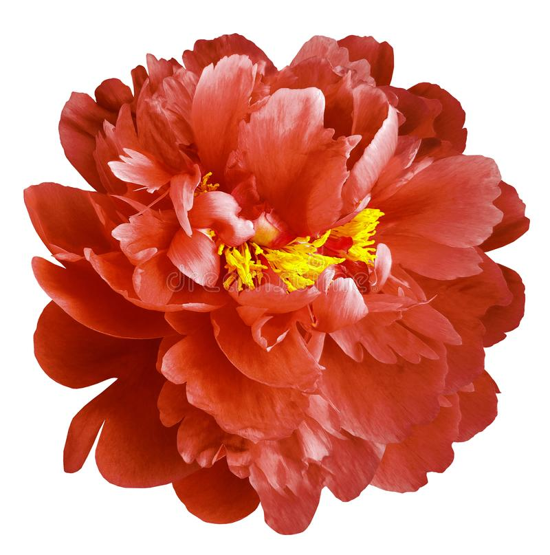 Red peony flower with yellow stamens on an isolated white background with clipping path. Closeup no shadows. For design. Nature royalty free stock photo