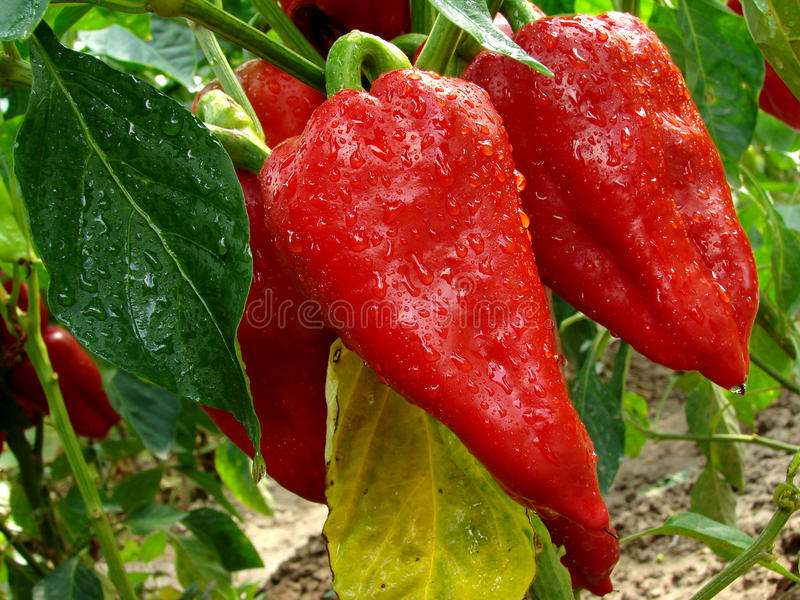 Download Red Peppers Royalty Free Stock Photos - Image: 28786348