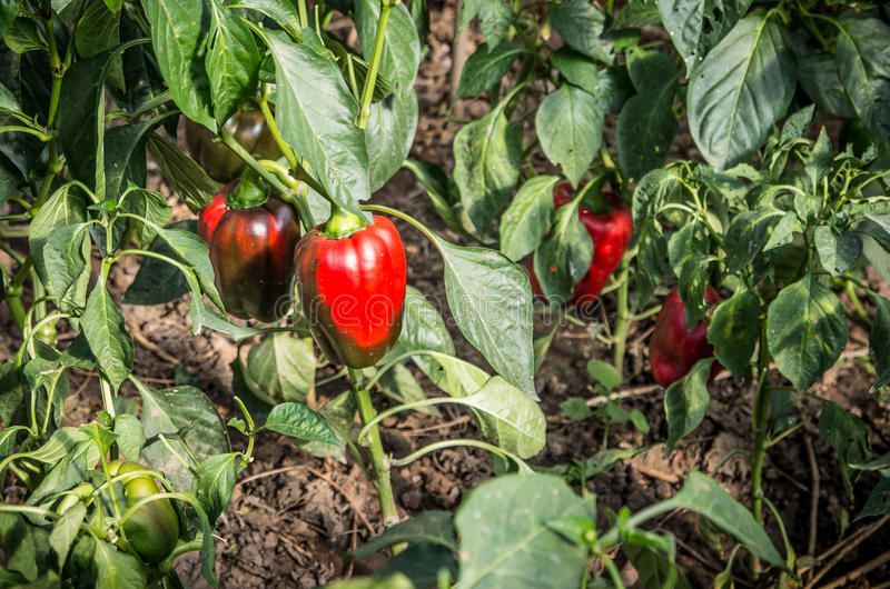 Red peppers plant stock photo
