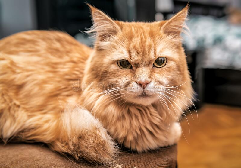 Red persian cat portrait stock photo