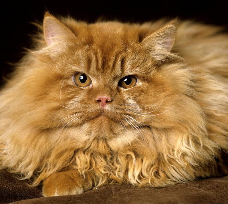 Free Red Persian Domestic Cat, Portrait Of Adult Royalty Free Stock Photo - 195046785