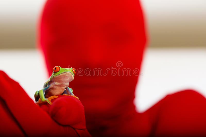 Red Person, Red Eyed Tree Frog royalty free stock images