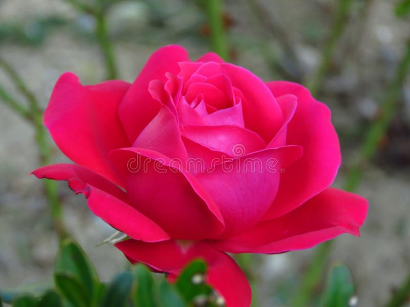 Red petaled flower in garden on blurred background. Violet red rose. Selective photography focus. Suitable for wallpaper and floral background royalty free stock image