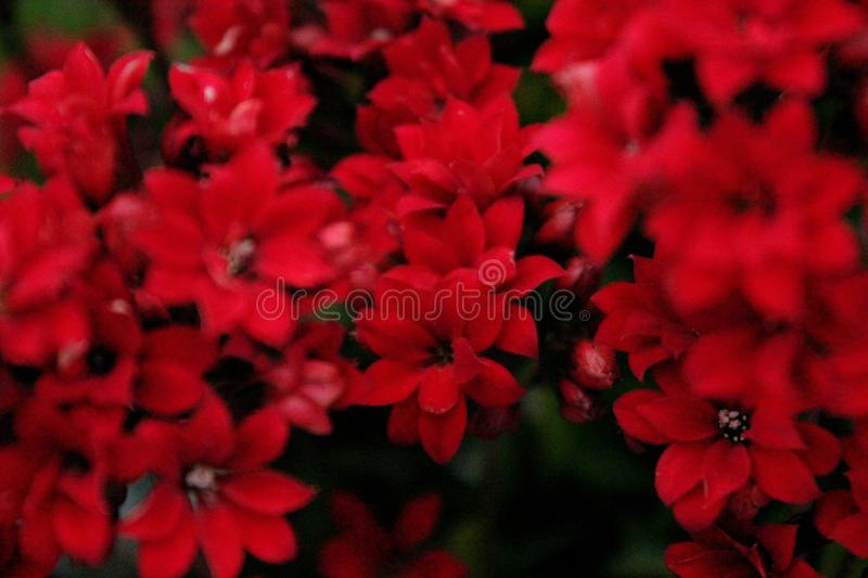 Red Petaled Flowers stock photo