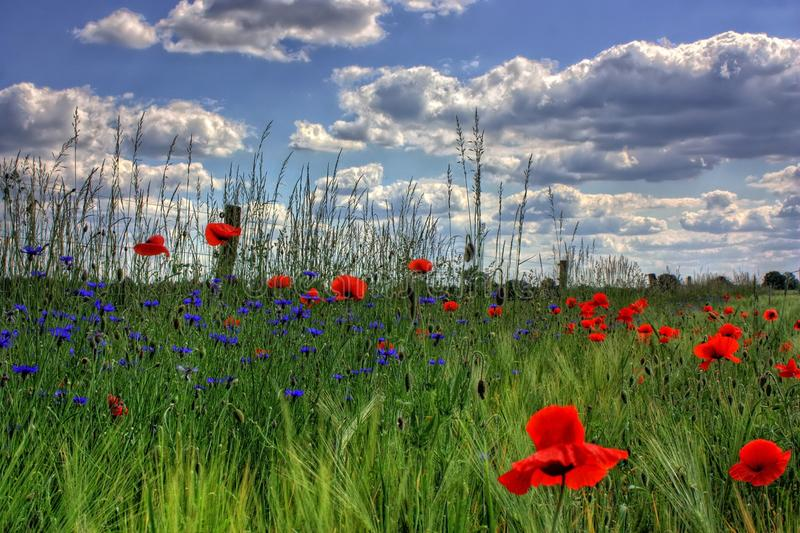 Red Petaled Flowers With Blue Petaled Flowers on a Field during Daytime royalty free stock images