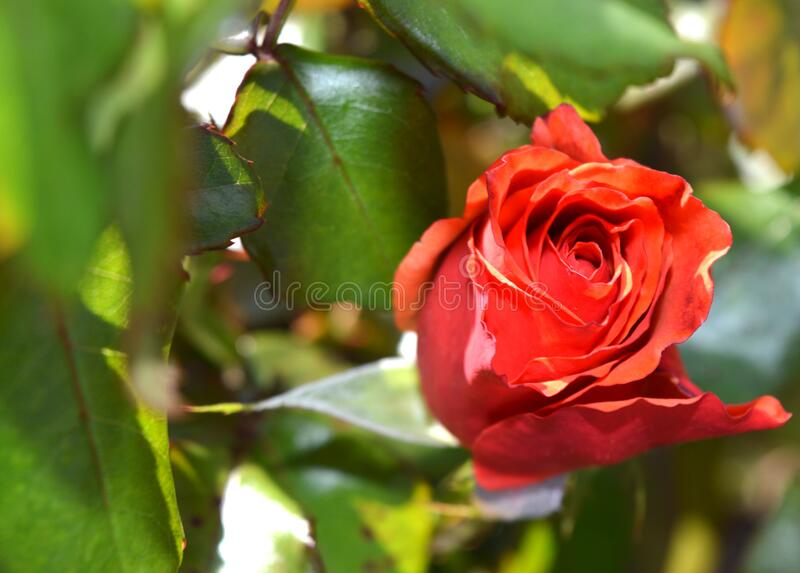 Red Petaled Rose royalty free stock images