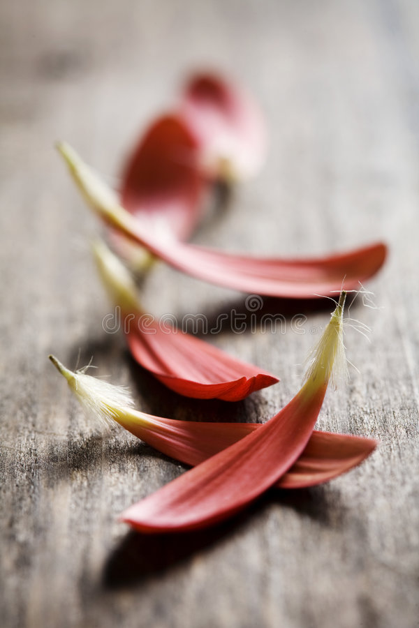 Download Red petals on wood stock image. Image of natural, vertical - 4535171