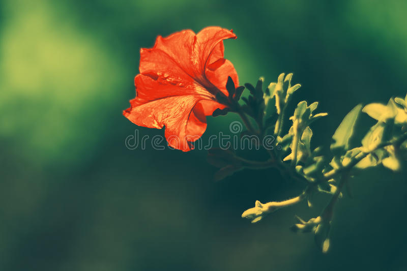 Red Petunia in autumn on a green background in the sunlight. stock photos