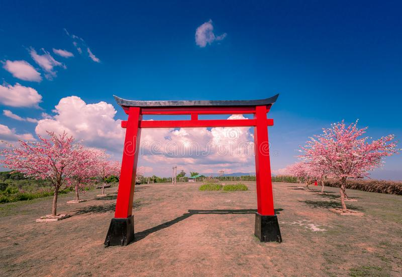 Red pillars with cherry blossoms travel in Khao kho Phetchabun province,thailand.  royalty free stock photos