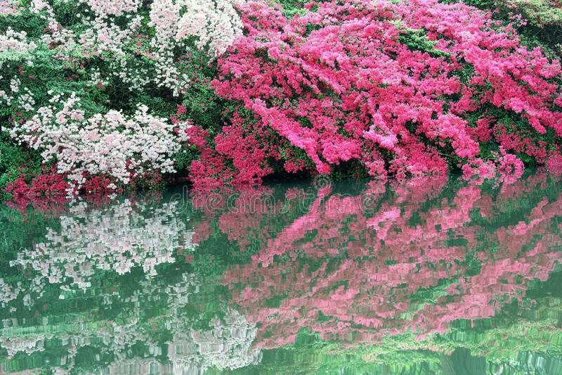 Red and pink azaleas in bloom stock photo