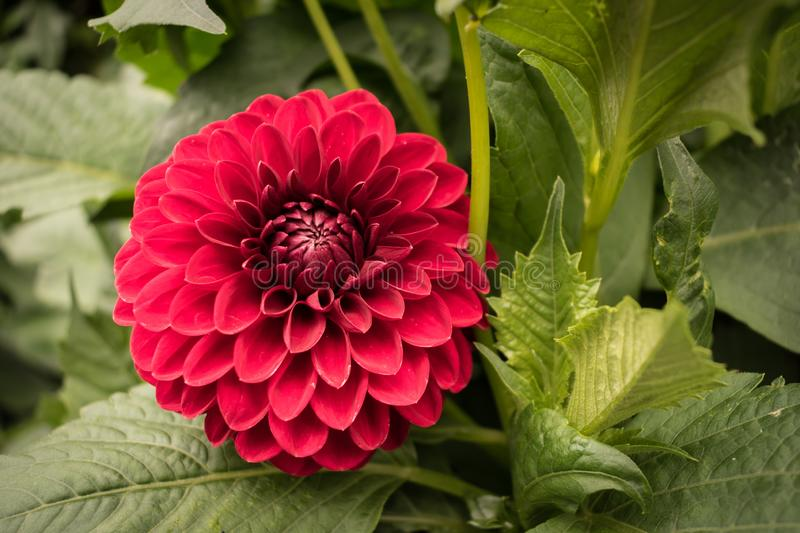 Red pink ball dahlia flower blooming in summer. stock photo