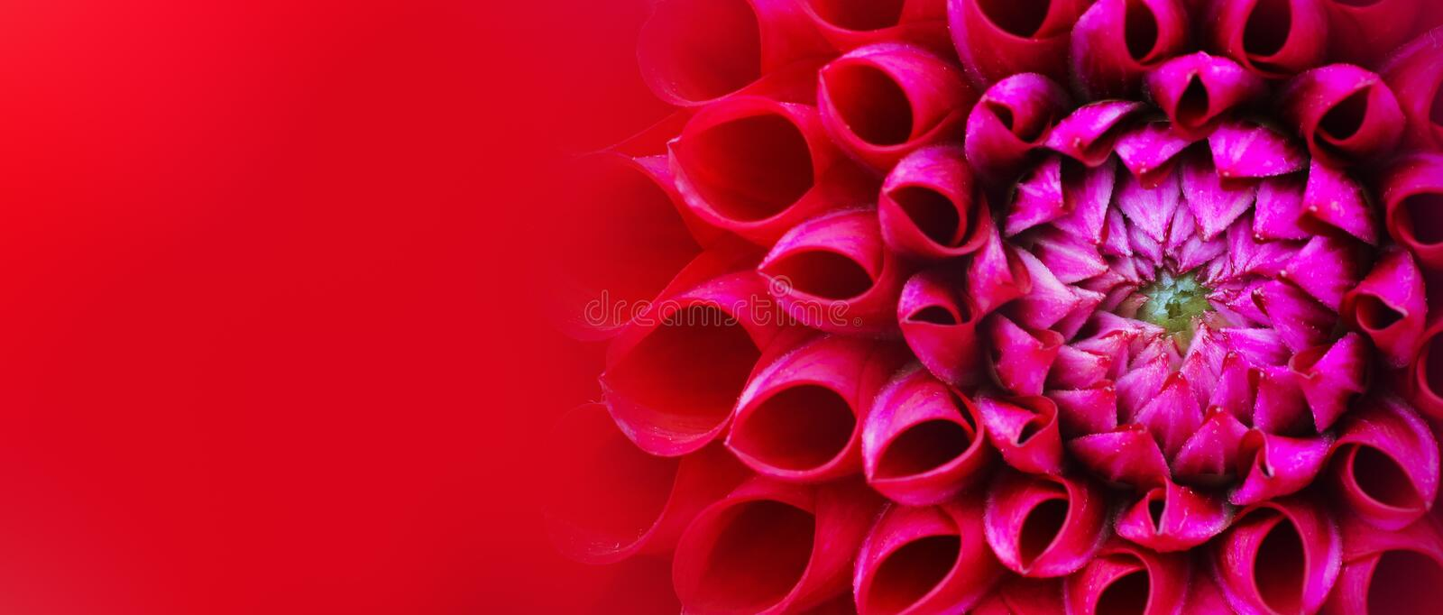 Red and pink dahlia flower macro photo background. Picture in colour emphasizing the light pink and dark red colours. Flower head at side of frame with royalty free stock photography
