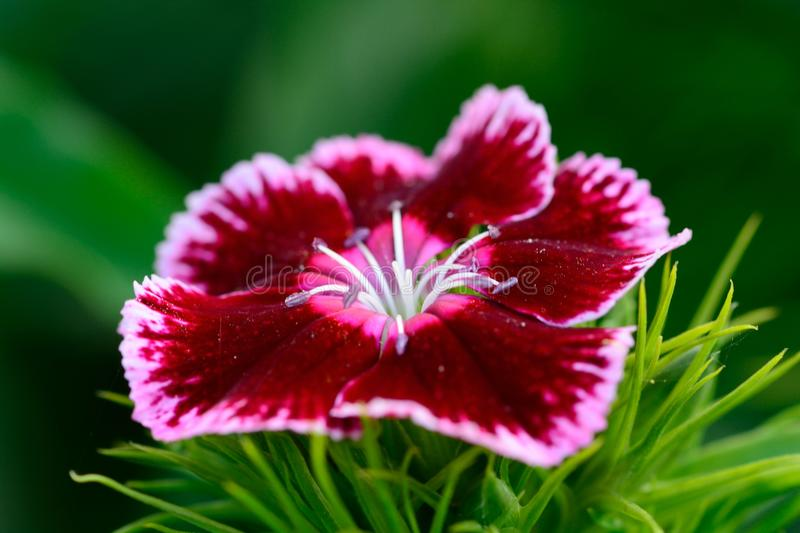 Red and Pink Dianthus flower. With a green background stock photo