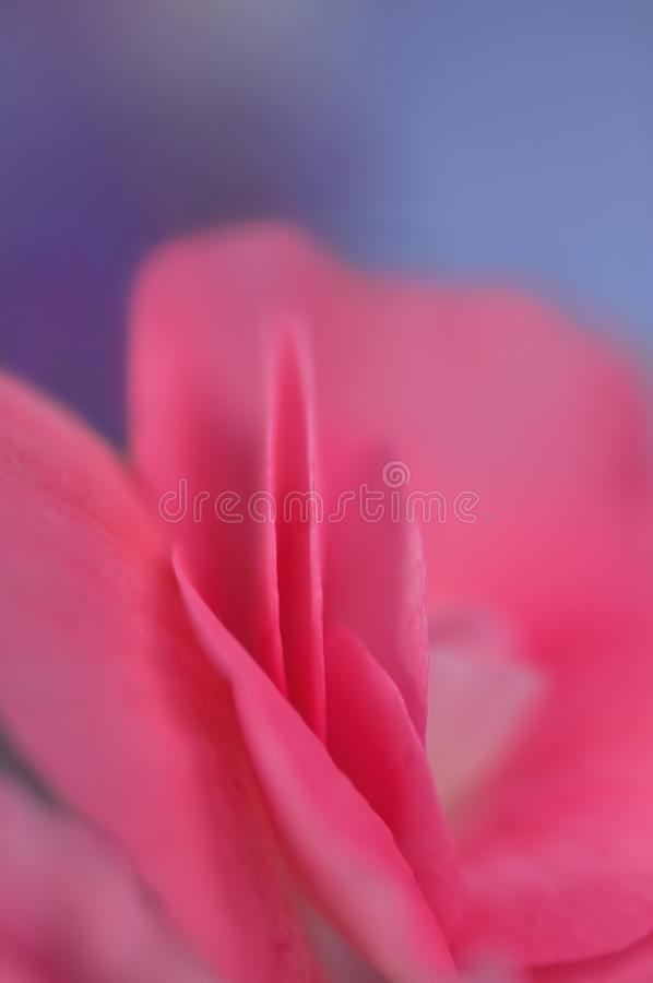 Red, Pink, Flower, Petal stock photo