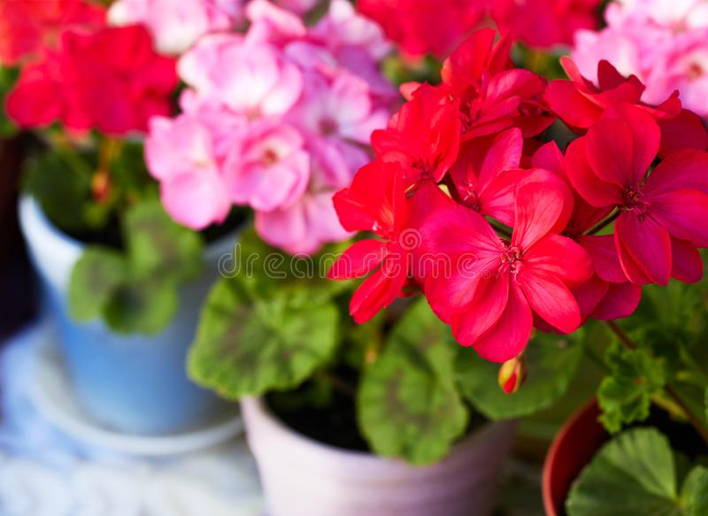 Red and pink geranium garden flowers in clay flowerpots, macro royalty free stock photo