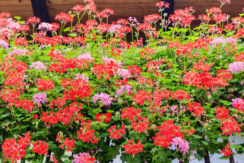 Red and pink geraniums stock images
