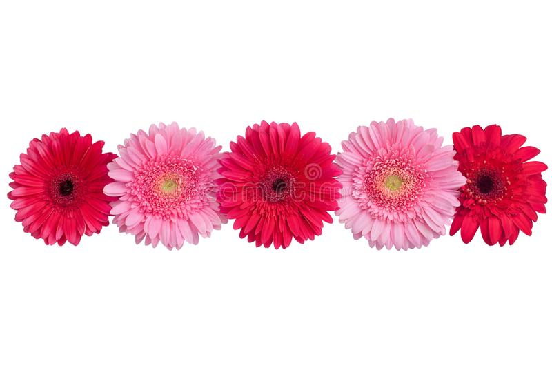 Red and pink gerbera flowers line on white background isolated closeup, gerber flower decorative border, daisies head top view royalty free stock images