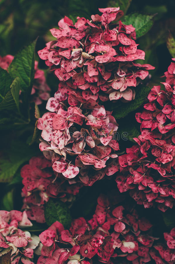 d24bd24e3a9 Free Public Domain CC0 Image  Red And Pink Hydrangeas Close Up ...