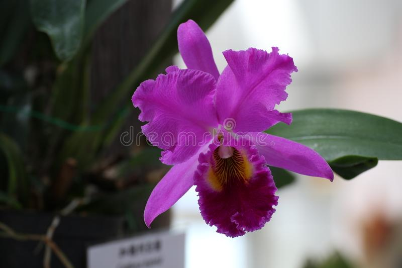 Red/ pink/ purple Cattleya spp Orchid Flower in Jeju, Korea royalty free stock image