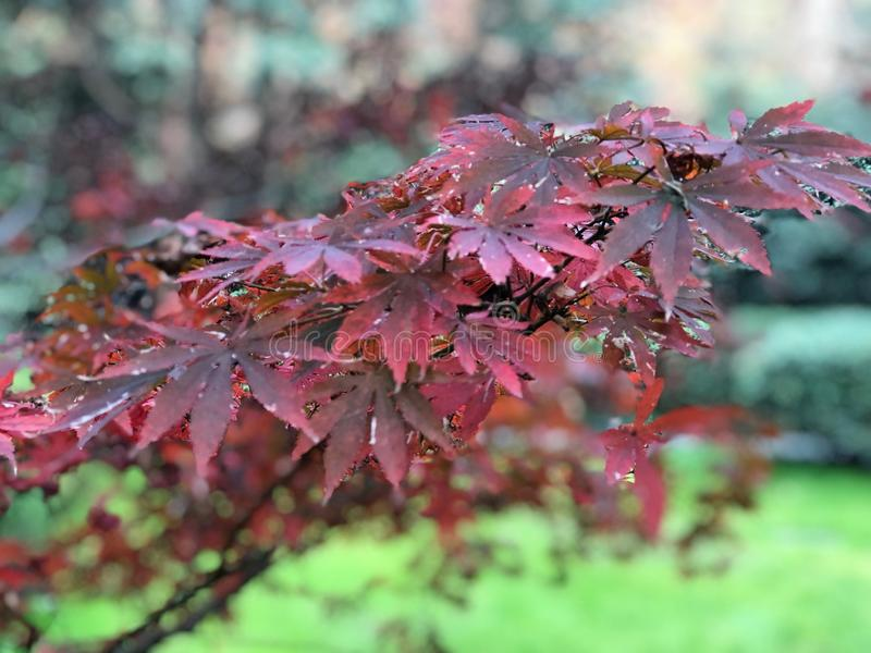 Red , Pink, Purple maple leaves on branch of tree in the botanical garden with Sunlight ray in the morning. Red , Pink, Purple maple leaves on branch of tree in stock images