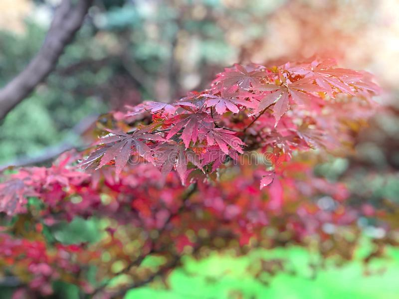 Red , Pink, Purple maple leaves on branch of tree in the botanical garden with Sunlight ray in the morning. Red , Pink, Purple maple leaves on branch of tree in stock photography