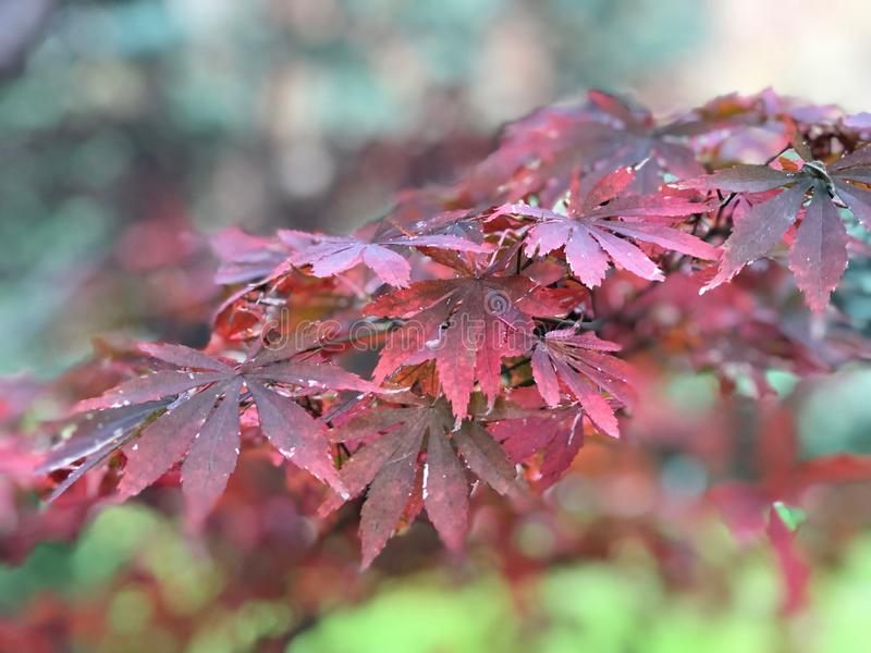 Red , Pink, Purple maple leaves on branch of tree in the botanical garden with Sunlight ray in the morning. Red , Pink, Purple maple leaves on branch of tree in stock photos