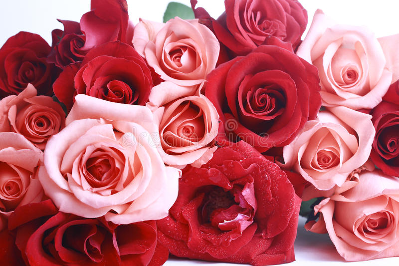 Red and pink rose stock images