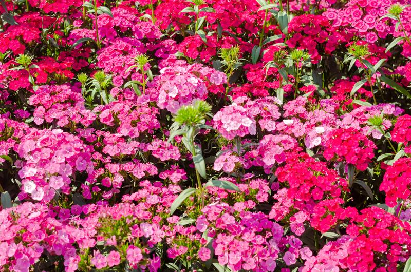 Red and pink sweet william or Dianthus barbatus in the garden royalty free stock images