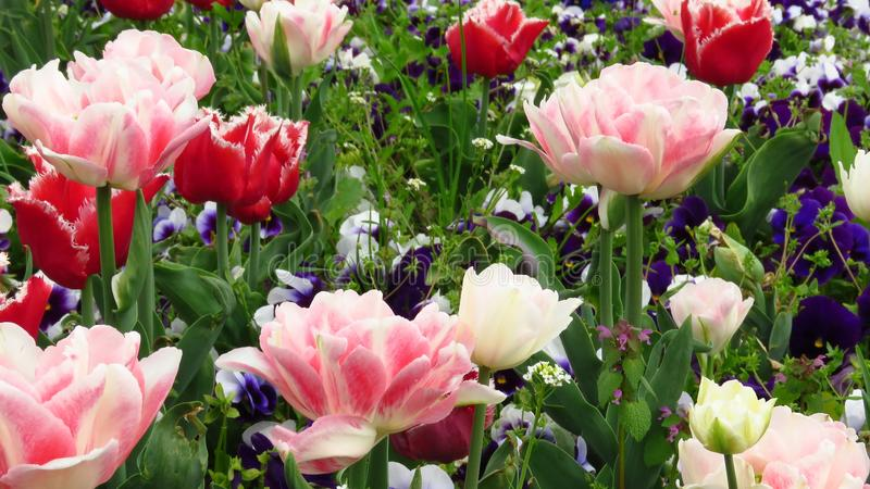 Red and Pink Tulips in the Garden. Bell Song and Annelinde tulips. Late spring flowers. stock image