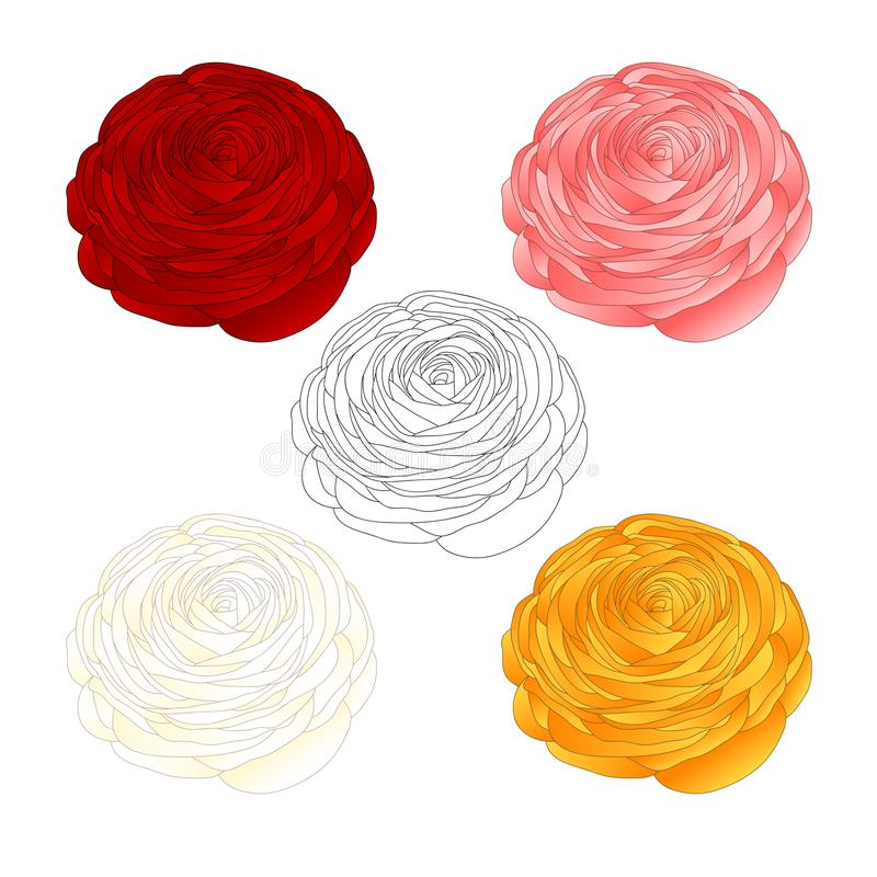 Red, Pink, White, Yellow Ranunculus Flower and outline. Vector Illustration. isolated on White Background stock illustration