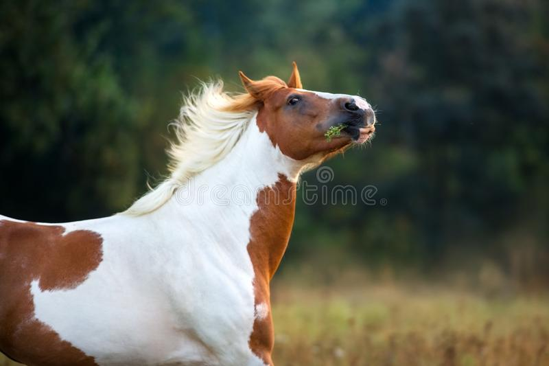 Piebald horse portrait royalty free stock photos