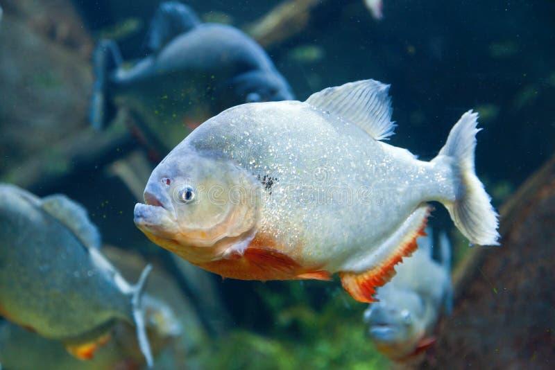 Red Piranha Stock Photos