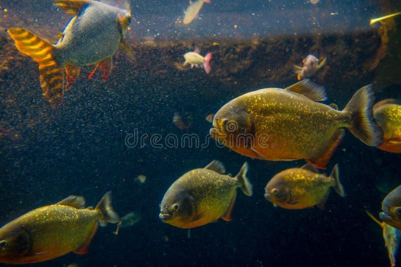 Red Piranha originative from the Ecuadorian Rainforest in south america, at Aquarium of Osaka.  royalty free stock photo