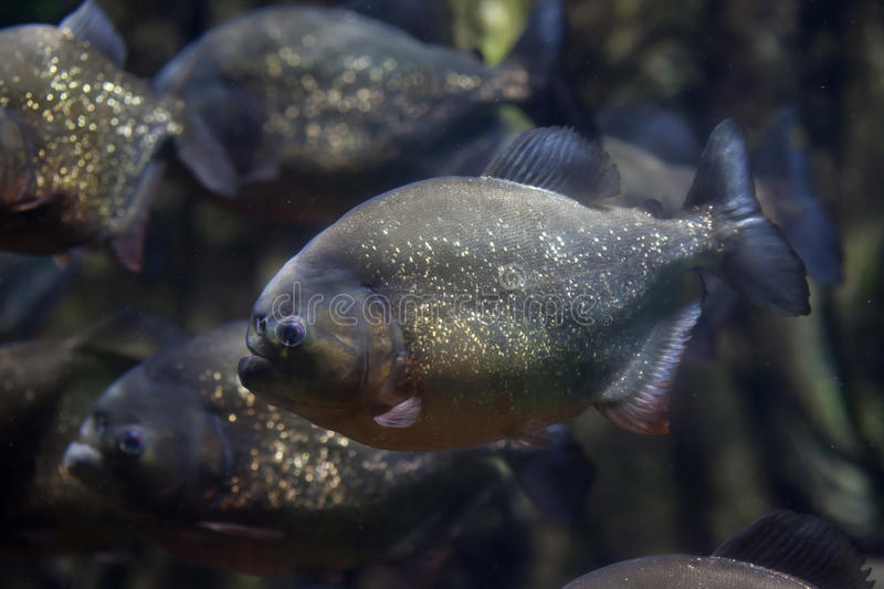 Red piranha Pygocentrus nattereri. Also known as the red-bellied piranha royalty free stock photography