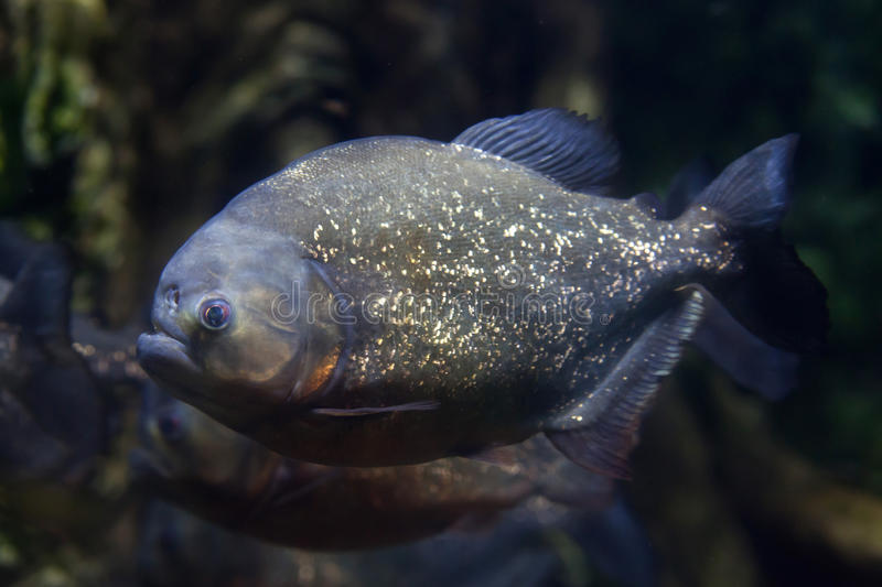Red piranha & x28;Pygocentrus nattereri& x29;. Also known as the red-bellied piranha royalty free stock photo