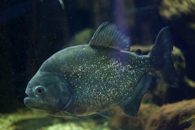 Red piranha (Pygocentrus nattereri). Red piranha (Pygocentrus nattereri), also known as the red-bellied piranha. Wild life animal stock image
