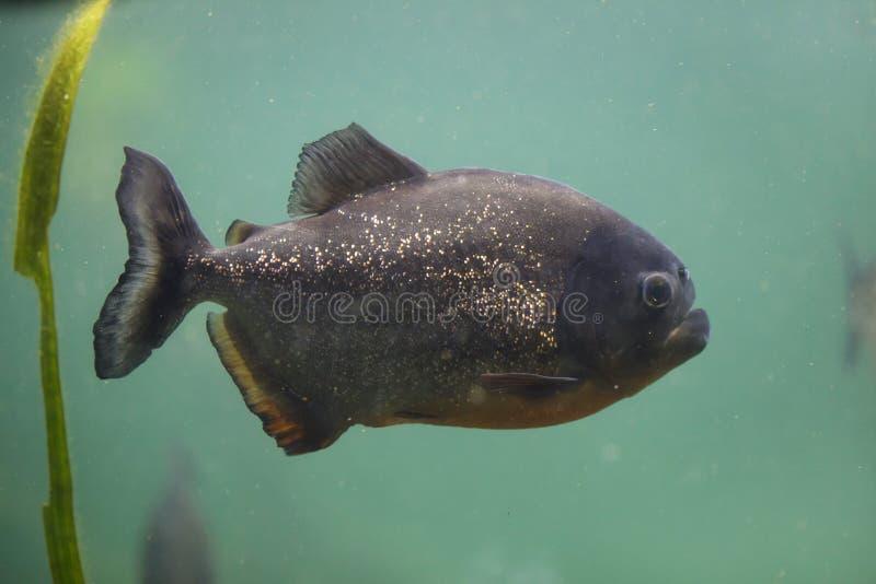 Red piranha Pygocentrus nattereri. Also known as the red-bellied piranha stock photo