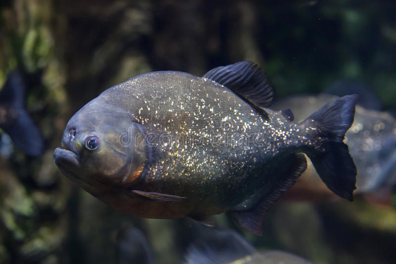 Red piranha Pygocentrus nattereri. Also known as the red-bellied piranha stock photography