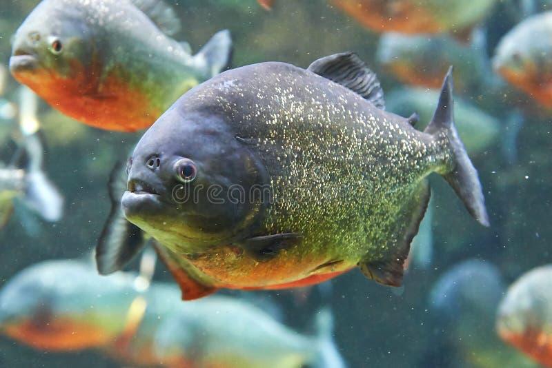Red piranha (Pygocentrus nattereri) royalty free stock photography