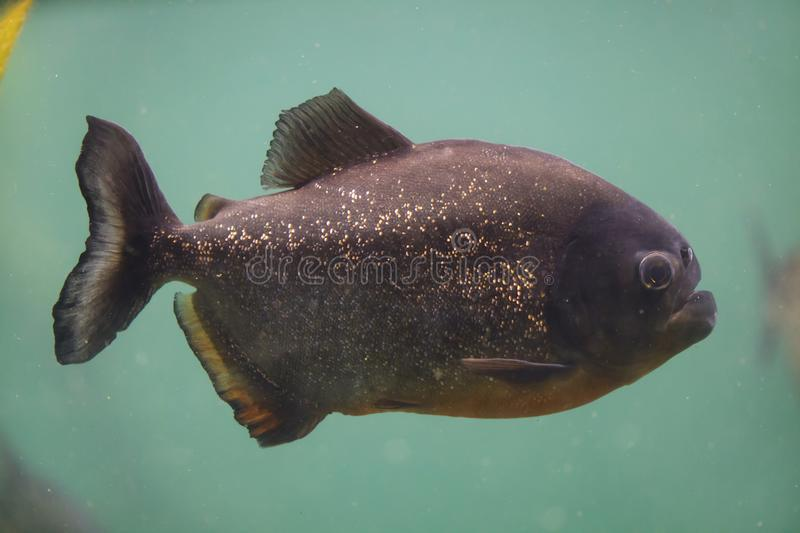 Red piranha Pygocentrus nattereri. Also known as the red-bellied piranha royalty free stock photo