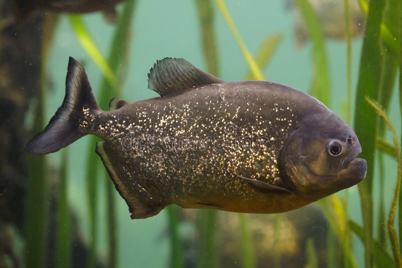 Red piranha Pygocentrus nattereri. Also known as the red-bellied piranha stock images