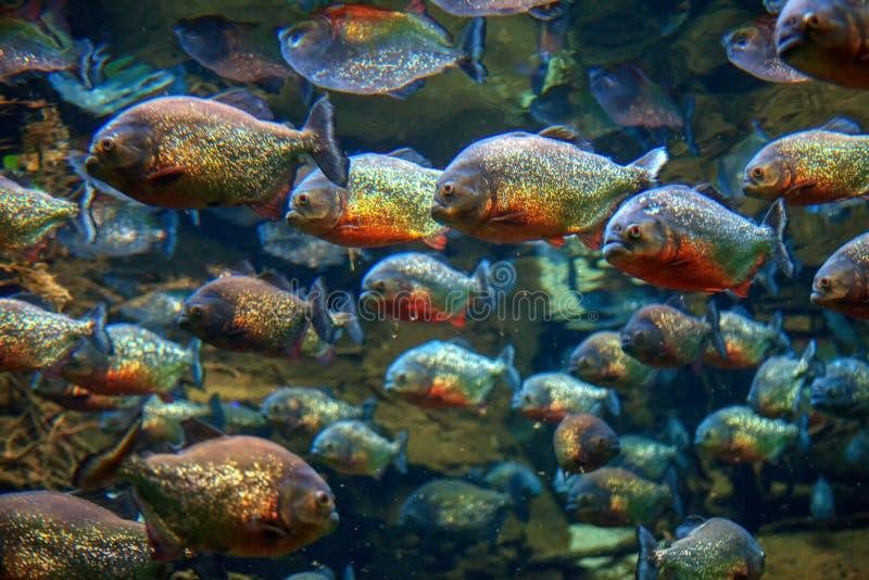 Red piranha. Fish swim in group stock photography