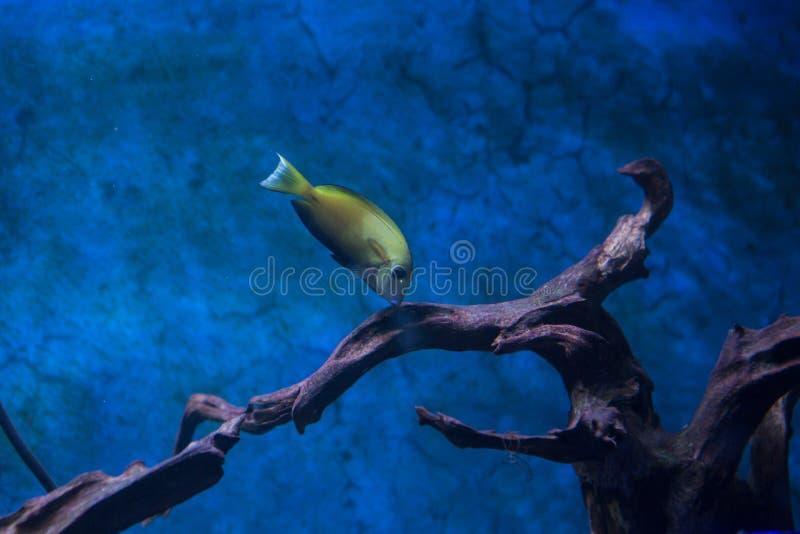 Red piranha Serrasalmus nattereri swimming underwater, piranha. Red piranha Serrasalmus nattereri swimming underwater in troubled waters stock photos