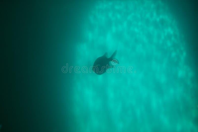 Red piranha Serrasalmus nattereri swimming underwater, piranha. Red piranha Serrasalmus nattereri swimming underwater in troubled waters royalty free stock photo