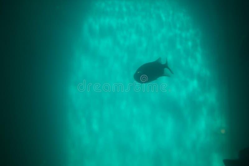 Red piranha Serrasalmus nattereri swimming underwater, piranha. Red piranha Serrasalmus nattereri swimming underwater in troubled waters royalty free stock photography