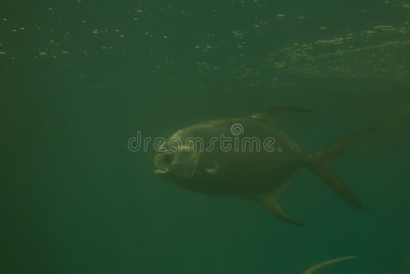 Red piranha Serrasalmus nattereri swimming underwater, piranha. Red piranha Serrasalmus nattereri swimming underwater in troubled waters royalty free stock images