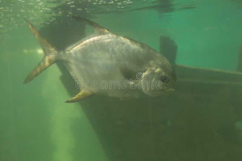 Red piranha Serrasalmus nattereri swimming underwater, piranha. Red piranha Serrasalmus nattereri swimming underwater in troubled waters stock photo